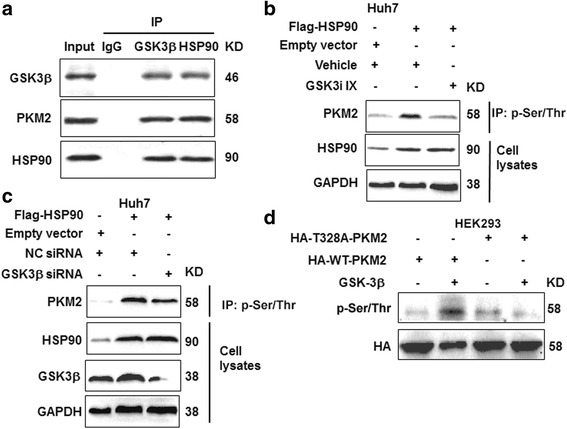 HSP90 increases PKM2 phosphorylation through <t>GSK-3β.</t> a Co-IP was performed for HSP90, PKM2 and GSK-3β to confirm whether these protein formed protein complex in Huh7 cells. b Huh7 cells transfected with HSP90 vector or control vector were treated with GSK3i IX, a GSK-3β inhibitor. Phosphorylation of PKM2 was examined by western blot after inhibiting GSK-3β activity. c Huh7 cells transfected with HSP90 vector or control vector were treated with GSK-3β <t>siRNA</t> to knockdown GSK-3β. Phosphorylation of PKM2 was examined by western blot after GSK-3β knockdown. d In vitro kinase assay to determine the effects of recombinant GSK3β on threonine phosphorylation of PKM2-WT or T328A