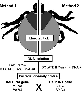 Summary of a workflow taking advantage of the symmetrical body plan of ticks. All tick samples were longitudinally bisected, each half being subjected to DNA extraction by either the ISOLATE Fecal DNA kit (Method 1) or the ISOLATE II Genomic DNA Kit (Method 2). All samples were sequenced using gene diversity profiling assays, targeting both the V1-V3 and V3-V4 16S rRNA hypervariable regions