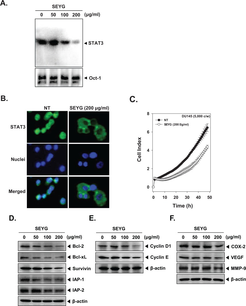 "SEYG inhibits binding of STAT3 to the DNA and expression of various gene products in human prostate cancer cells. (A) SEYG suppresses STAT3 binding activity. DU145 cells (1 × 10 6 cells/well) were treated with various indicated concentrations of SEYG for 6 hours, analyzed for nuclear STAT3 levels by EMSA. Oct-1 EMSA is shown as a loading control. (B) SEYG causes the inhibition of translocation of STAT3 to the nucleus. After 6 hours of SEYG treatment, the cells were fixed and permeabilized. STAT3 (green) was immunostained with rabbit anti-STAT3 followed by FITC-conjugated secondary antibodies and the nuclei (blue) were stained with DAPI. The third panels show the merged images of the first and second panels. The results shown are representative of 2 independent experiments. (C) Cell proliferation assay was performed using the Roche xCELLigence Real-Time Cell Analyzer (RTCA) DP instrument (Roche Diagnostics GmbH) as described in ""Material and Methods."" After DU145 cells (5 × 10 3 cells/well) were seeded onto 96-well E-plates and continuously monitored using impedance technology. (D-F) DU145 cells (1 × 10 6 cells/well) were incubated with the indicated concentrations of SEYG for 24 hours. Whole-cell extracts were prepared, and 20 µg of the whole-cell lysate was resolved by SDS-PAGE, electrotransferred to nitrocellulose membrane, sliced from the membrane based on the molecular weight, and then probed with antibodies against bcl-2, bcl-xL, survivin, IAP1/2, cyclin D1, cyclin E, COX-2, VEGF, and MMP-9 as described in ""Materials and Methods."" The same blots were stripped and reprobed with β-actin antibody to verify equal protein loading. The results shown here are representative of 3 independent experiments."