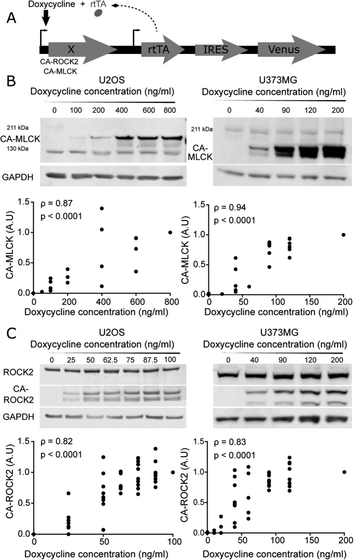 Graded control over the expression of a constitutively active form of MLCK (CA-MLCK) and ROCK2 (CA-ROCK2). (A) Schematic of doxycycline-inducible lentiviral system, where X encodes MLCK, ROCK1, or ROCK2. (B) Representative Western blot showing expression levels of endogenous MLCK, CA-MLCK, and GAPDH in U2OS (left) and U373MG cells (right) as a function of doxycycline concentration. U2OS cells were probed with rabbit ant-MLCK (Abcam 76092) and U373MG cells were probed with mouse anti-MLCK (Sigma M7905). Expression levels of CA-MLCK were quantified, normalized to GAPDH and to the highest doxycycline concentration for each cell line, and plotted below the respective Western blots ( n = 4 blots for U2OS and n = 6 blots for U373MG). (C) Representative Western blot showing expression levels of endogenous ROCK2, CA-ROCK2, and GAPDH in U2OS (left) and U373MG (right) cells in the presence of various amounts of doxycycline. Expression levels of CA-ROCK2 were quantified, normalized to GAPDH and to the highest doxycycline concentration, and plotted below the respective Western blots ( n = 10 blots for U2OS and n = 10 blots for U373MG at the maximum doxycycline concentration). Statistical parameters shown represent the Spearman's rank correlation coefficient (ρ) and p value.
