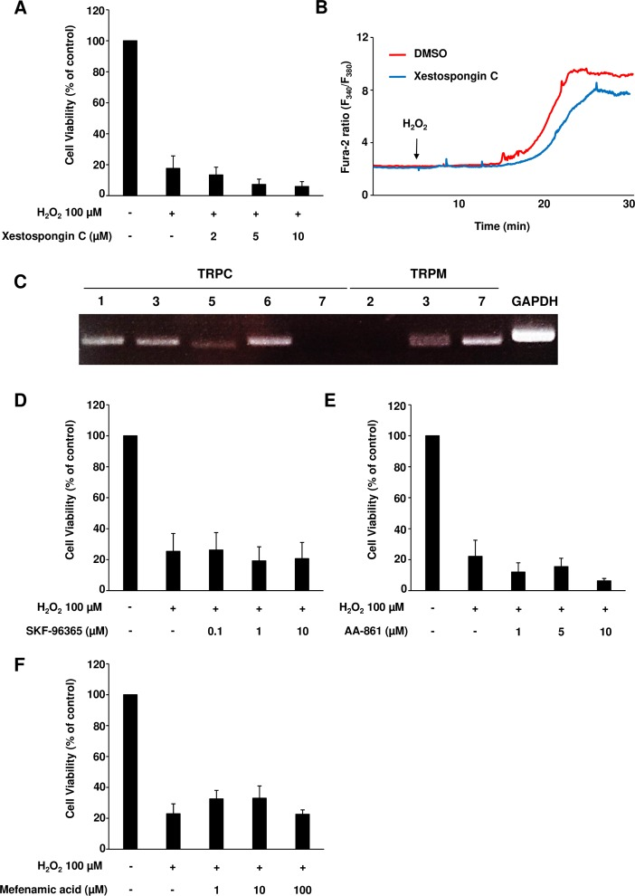 Specific inhibition of 2-APB-sensitive Ca 2+  channels failed to prevent H 2 O 2 -induced cardiomyocyte death. (A) Neonatal rat cardiomyocytes (NRCMs) were pretreated or not with xestospongin C, a specific IP 3 R inhibitor, for 1 hour, which was followed by H 2 O 2  treatment. Cell viability levels were determined. Results are shown as mean values ± SEM from three independent experiments. (B) Representative fura-2 ratio obtained using NRCMs pretreated or not with xestospongin C, followed by H 2 O 2  treatment. (C) The expression levels of 2-APB-sensitive TRP channels in NRCMs were analyzed by RT-PCR. A representative image with a 40-cycle amplification is shown. (D-F) NRCMs were pretreated or not with SKF-96365 (D, a TRPC inhibitor), AA-861 (E, a TRPM7 inhibitor) and mefenamic acid (F, a TRPM3 inhibitor), followed by H 2 O 2  treatment. Cell viability rate is presented. Results are presented as mean values ± SEM obtained in four independent experiments.