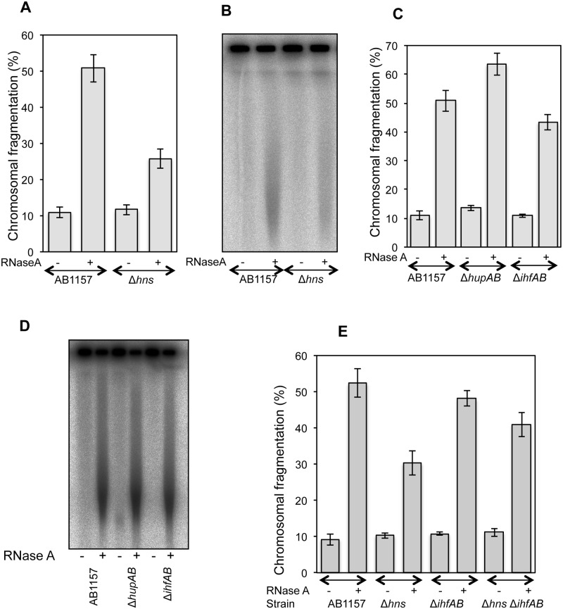 Genetics of RiCF. (A)  Quantitative determination of RiCF in Δ hns  mutant. AB1157 and SRK254 were grown at 37°C to the same final OD, and plugs were made in the absence of proteinase K, but with or without RNase (50 μg/plug). After overnight incubation in the lysis buffer at 62°C, the plugs were electrophoresed under standard conditions. Data points are means of 6–10 independent assays± SEM.  (B)  Radiogram of a representative pulsed field gel from which data in (A) are calculated.  (C)  Comparison of RiCF in Δ hupA  Δ hupB  and Δ ihfA  Δ ihfB  double mutants. Experiment was done as described in (A), and values presented are means of 6–13 independent assays ± SEM.  (D)  Radiogram of a representative pulsed field gel from which data in (C) are calculated.  (E)  Effect of  hns  deletion on RiCF of Δ ihfA  Δ ihfB  mutant. Values presented are means of 7 independent assays ± SEM.