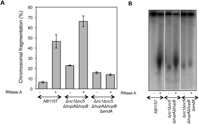 Endonuclease-I is critical for RiCF but not for spontaneous fragmentation. (A)  Comparison of spontaneous fragmentation and RiCF in AB1157, AB1157 Δ nc1  Δ nc5  Δ hupA  Δ hupB  and AB1157 Δ nc1  Δ nc5  Δ hupA  Δ hupB  Δ endA  mutants. All strains were grown at 37°C to the final OD of 0.6, and plugs were made in the absence of proteinase K, both with or without RNase (50 μg/plug). Data points are means of at least three independent assays ± SEM.  (B)  Radiogram of a representative gel from which data in (A) are generated.
