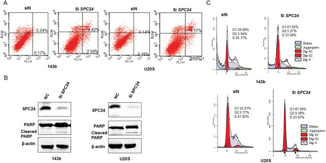 SPC24 knockdown promotes apoptosis and G1-S cell cycle arrest in 143B and U2OS cells (A) Flow cytometry analysis of AnnexinV-FITC and propidium iodide stained control (siN) and SPC24 knockdown 143B and U2OS cells. AnnexinV + PI − cells and AnnexinV + PI + cells represent early and late apoptotic cells, respectively. (B) Representative western blot showing SPC24 and PARP/cleaved PARP levels in control and siSPC24 transfected OS cells at 72 h. (C) Flow cytometry analysis of cell cycle distribution in control (siN) and SPC24 knockdown 143B and U2OS cells. Cells were stained with propidium iodide.