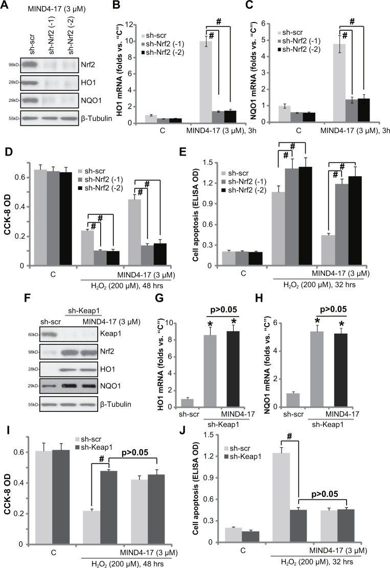 "Nrf2 activation is required for MIND4-17-mediated cytoprotection OB-6 cells, stably expressing lentiviral scramble non-sense control shRNA (""sh-scr"") or Nrf2 shRNA (""sh-Nrf2, sequence -1/−2"") ( A - E ), as well as lentiviral Keap1 shRNA (""sh-Keap1"") ( F - J ), were treated with MIND4-17 (3 μM) for 3 hours, expressions of listed proteins were presented (A and F); mRNA expressions of listed genes were also shown (B, C, G and H); Cells were further treated with/out hydrogen peroxide (""H 2 O 2 "", 200 μM) for indicated time period, cell viability (CCK-8 assay, D and I) and apoptosis (Histone DNA ELISA assay, E and J) were also tested. For H 2 O 2 experiments, MIND4-17 (3 μM) were pretreated before H 2 O 2 for 1 hour. For all the assays, the exactsame number of viable cells with the applied shRNA was initially plated into each well. Data were presented as mean (n=5) ± standard deviation (SD). # p"