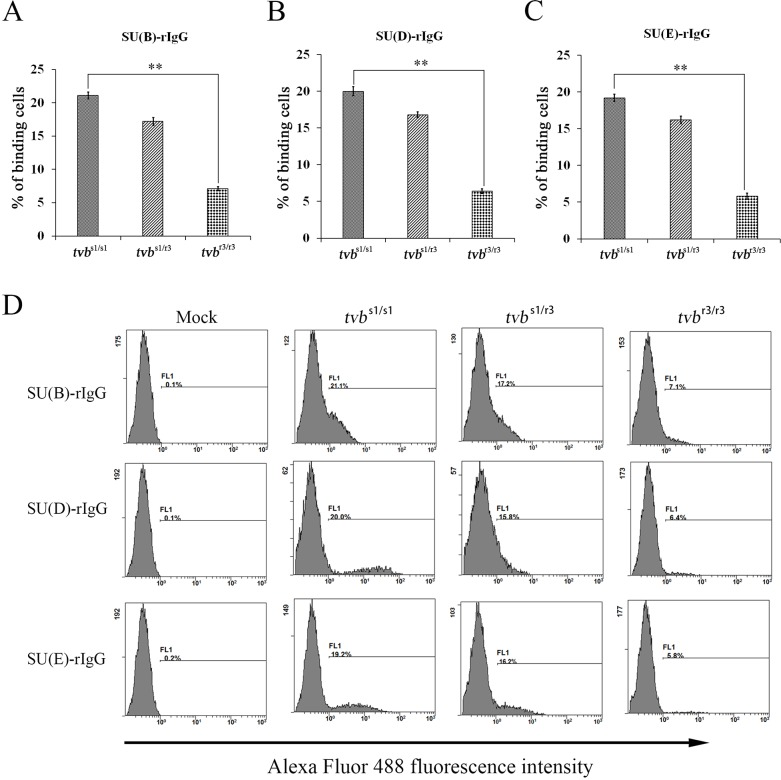 Binding affinities of ALV envelope glycoproteins for Tvb receptors expressed on the surfaces of CEFs of defined origin The tvb s1/s1 , tvb s1/r3 and tvb r3/r3 CEFs were incubated with the same amount of soluble forms of the SU-rIgG, SU(B)-rIgG (A) , SUD-rIgG (B) or SUE-rIgG (C) . The viral envelope glycoprotein-receptor complexes were bound to goat-anti-rabbit IgG conjugated with Alexa Fluor 488, and the amount of Alexa Fluor 488 bound to the cells was quantitated by FACS. Binding affinities of the envelope-receptor is given as the percentage of fluorescence-positive cells. The values shown are means ± standard deviation from three independent experiments. To determine the statistical significance of differences between binding of wt and the mutant Tvb receptors for all three soluble SU glycoproteins data sets, the Student's t tests were performed ( ** , P