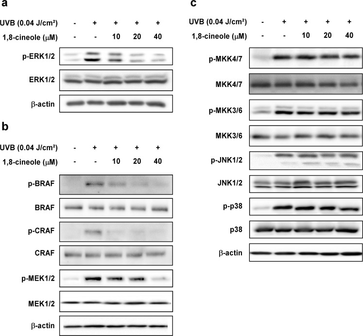 Effect of 1,8-cineole on UVB-induced phosphorylation of MAPKs in HaCaT cells (a) and (b) 1,8-cineole inhibits UVB-induced phosphorylation of ERK1/2, MEK1/2, BRAF, and CRAF, (c) but not MKK4/7, JNK1/2, MKK3/6, and p38 in HaCaT cells. Cells were pre-treated with 1,8-cineole at the indicated concentrations for 1 hour, irradiated with UVB, and then harvested after 15 min. Phosphorylation levels of proteins were detected by Western blotting.