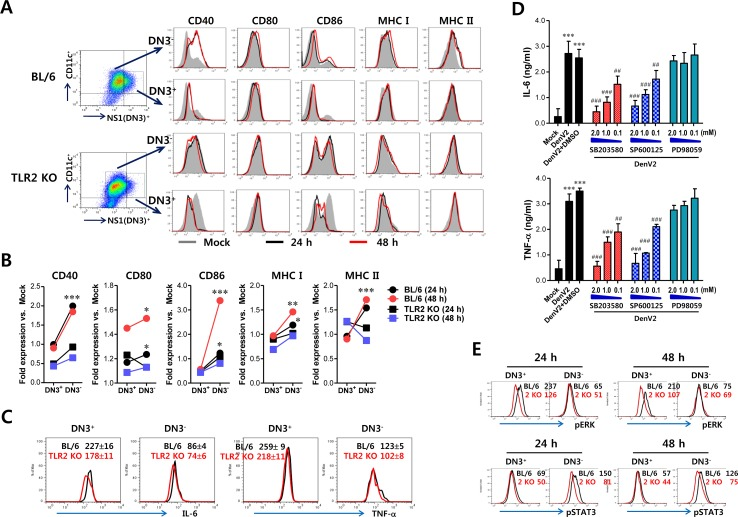 Bystander activation of uninfected DCs by DenV-infected DCs in a TLR2-dependent manner (A) Phenotypic levels of infected and uninfected BMDC (DN3 + and DN3 − ). BMDC derived from wild-type BL/6 and TLR2 KO mice were infected with DenV2 (5.0 moi) and co-stained for intracellular DenV NS1 protein and surface CD11c molecule along with phenotypic markers at 24 h (black line) and 48 h (red line) pi. Mock-infected BMDC is shown in grey. (B) Fold-change of phenotypic levels in infected and uninfected BMDC. Expression of each surface molecule on DN3 + infected and DN3 − uninfected DCs was quantified by MFI. Values shown in graphs represent mean fold-change in MFI vs. mock infection in three independent experiments. (C) TNF-α and IL-6 expression in infected and uninfected BMDCs. TNF-α and IL-6 expression by infected and uninfected BL/6 and TLR2 KO BMDC was determined by intracellular cytokine staining of DN3 + (infected) and DN3 − (uninfected) cells at 24 h pi. (D) Dependence of IL-6 and TNF-α production in DenV-infected DCs on p38 and JNK MAPK. BMDC derived from wild-type BL/6 were infected with DenV2 (5.0 moi) in the presence or absence of p38 inhibitor (SB203580), JNK inhibitor (SP600125), and MEK inhibitor (PD98059). Levels of TNF-α and IL-6 cytokines in culture supernatants were determined by ELISA at 48 h pi. Data represent the average ± SE of wells evaluated in quadruplicates. (E) Phosphorylation levels of ERK and STAT3 signal molecules in infected and uninfected BMDC. Phosphorylation level of ERK and STAT3 signal molecules was determined by intracellular staining of DN3 + (infected) and DN3 − (uninfected) cells using mAbs against phosphorylated signal molecules at 24 h pi. Values in representative histograms denote average MFI levels derived from three independent experiments. * , p