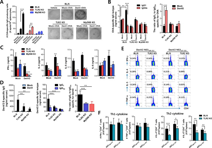 DenV induces Ag-specific Th2 immune responses in TLR2/MyD88-dependent manner (A) Enhanced number of anti-OVA-IgG producing cells by re-stimulation of Ag in mice infected with DenV2. Splenocytes of wild-type BL/6, TLR2 KO, and MyD88 KO mice immunized i.p. with PBS (vehicle), OVA (50 μg), or OVA (50 μg) plus DenV2 infection (1×10 6 ffu/mouse) were prepared at 14 days post-immunization and used to enumerate anti-OVA-IgG producing cells using ELISPOT assay. Bars denote the average ± SE of the number of anti-OVA-IgG producing cells in million splenocytes obtained from four mice per group. Pictures are representative of ELISPOT in each group. (B) Levels and ratio of OVA-specific IgG isotypes (IgG 1 and IgG 2a ) in sera of DenV2-infected mice. Levels of IgG isotypes in sera were determined by ELISA at 14 days after mice were immunized with PBS, OVA, or OVA plus DenV2 infection. (C) Prominent production of Th2-type cytokines in splenocyte of DenV2-infected mice after re-stimulation with OVA protein. Splenocytes of BL/6, TLR2 KO, and MyD88 KO mice immunized with PBS, OVA, or OVA plus DenV2 infection were prepared at 14 dpi and re-stimulated with OVA protein (100 μg/ml) for 72 h. Th1/Th2-cytokine levels in culture supernatants of re-stimulated splenocytes were determined by sandwich ELISA. (D) DenV2 E-specific IgG levels and its isotype ratio in DenV-infected mice. BL/6, TLR2 KO, and MyD88 KO mice were infected i.p. with DenV2 (1×10 6 ffu/mouse) and boosted 7 days later. Levels of DenV2 E protein-specific IgG and its isotypes (IgG 1 and IgG 2a ) were determined by ELISA at 14 days after boosting immunization. (E, F) Th2-biased CD4 + T cell responses specific for DenV Ag in TLR2-dependent manner. Splenocytes of BL/6 and TLR2 KO mice infected with DenV2 were prepared at 14 dpi and stimulated with two CD4 + T-cell epitope peptides (NS3 198-212 and NS3 237-251 ) for 12 h. The frequency (E) and total absolute number (F) of CD4 + T cells producing Th1 (IFN-γ and TNF-α) and Th2 (IL-