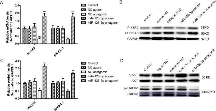 miR-126-3p targeted PIK3R2 and SPRED-1 and activated the ERK1/2 and AKT signaling pathways in HSVECs ( A ) Overexpression and inhibition of miR-126-3p, respectively, promoted and inhibited PIK3R2 and SPRED-1 mRNA levels in HSVECs. ( B ) Representative western blots of PIK3R2 and SPRED-1 protein expression after transfection of miR-126-3p agomir and antagomir in HSVECs. ( C ) Western blotting analyses confirmed the downregulation and upregulation of PIK3R2 and SPRED-1 proteins in HSVECs by the miR-126-3p agomir or antagomir, respectively. ( D ) Representative western blots of the upregulation and downregulation of AKT phosphorylation and ERK1/2 phosphorylation in HSVECs by the miR-126-3p agomir or antagomir, respectively. The results are presented as the mean ± SEM from 3 independent experiments. * P