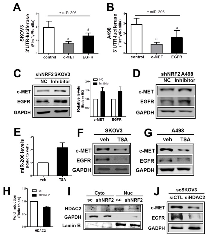 The NRF2 -silencing-induced miR-206 directly mediates c-MET and EGFR reductions (A-B) SKOV3 (A) or A498 (B) cells were co-transfected with miR-206 and the c-MET -3′-UTR- or EGFR -3′UTR-luciferase reporter plasmid. After 18 h, 3-UTR-derived luciferase activity was measured. Values are means ± SD from 4 experiments. (C-D) After transfection of shNRF2-SKOV3 (C) or shNRF2-A498 (D) cells with the miR-206 inhibitor (100 nM) or negative control (NC), c-MET and EGFR protein levels were assessed by Western blotting. Data are means ± SD from three independent experiments. (E) The scSKOV3 cells were incubated with trichostatin (TSA, 0.3 μM) for 18 h, and miR-206 levels were measured using real-time PCR analysis. Values are means ± SD from three experiments. (F-G) Protein levels for c-MET and EGFR were determined in SKOV3 (I) and A498 (J) following the incubation with TSA (0.3 μM) for 24 h. (H) The transcript level of HDAC2 was assessed in sc and shNRF2-SKOV3 cells. (I) Cytoplasmic (Cyto) and nuclear (Nuc) levels of HDAC2 were determined Western blotting. (J) The scSKOV3 cells were transiently transfected with nonspecific siRNA (siCTL) or HDAC2 -specific siRNA (siHDAC2) and the protein levels for c-MET and EGFR were assessed by Western blotting. Similar blots were obtained from three independent experiments (D, F, G, I and J).
