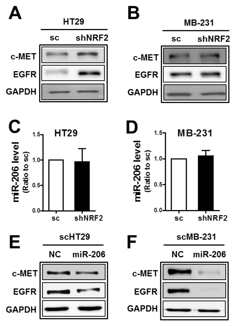 The association of NRF2 with miR-206 is cancer cell type-dependent (A-B) c-MET and EGFR protein levels were determined in NRF2 -silenced HT29 (shNRF2-HT29; A) and NRF2 -silenced MDA-MB231 (shNRF2-MB231; B) cells. (C-D) MiR-206 levels were assessed by real-time PCR analysis in shNRF2-HT29 (C) and shNRF2-MB-231 cells (D). Values are means ± SD from three experiments. (E-F) After transfection of the scHT29 (E) and scMB-231 (F) with the miR-206 mimic (100 nM), protein levels for c-MET and EGFR were assessed by Western blotting. Similar blots were obtained from three independent experiments (A, B, E, and F).