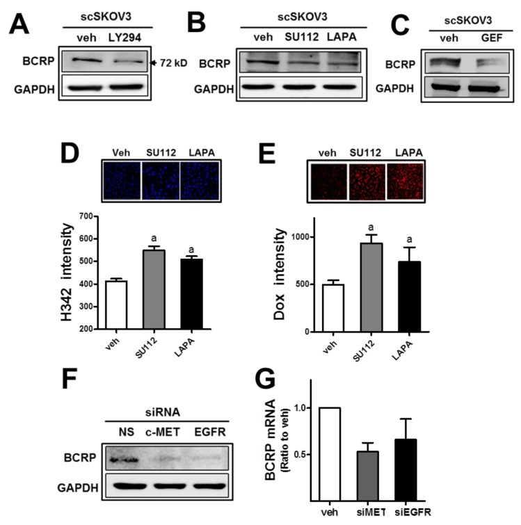 The inhibition of c-MET or EGFR leads to BCRP reduction and doxorubicin sensitization (A) The scSKOV3 cells were incubated with PI3K inhibitor (LY294; 5 μM) and protein levels for BCRP were assessed by Western blotting. (B-C) After incubation of the scSKOV3 with pharmacological inhibitor of c-MET (SU112; 1 μM) or EGFR (LAPA; 2 μM, GEF; 5 μM), BCRP protein levels were determined. (D-E) The scSKOV3 cells were incubated with SU112 or LAPA, and cellular accumulation levels of Hoechst 33342 (H342; 2 μg/ml for 30 min; D) or doxorubicin (Dox; 2 μM for 6 h; E) were monitored. Cellular fluorescent intensities were quantified using a Cell Insight system. Values are means ± SD from 4 experiments. (F) The scSKOV3 cells were transiently transfected with c-MET -specific siRNA (siMET) or EGFR -specific siRNA (siEGFR), and the protein level for BCRP was assessed by Western blotting. (G) Transcript levels of BCRP were monitored using real-time PCR analysis after transfection with c-MET -specific siRNA (siMET) or EGFR -specific siRNA (siEGFR). Values are means ± SD from three experiments. Similar blots were obtained from three independent experiments (A, B, C and F).