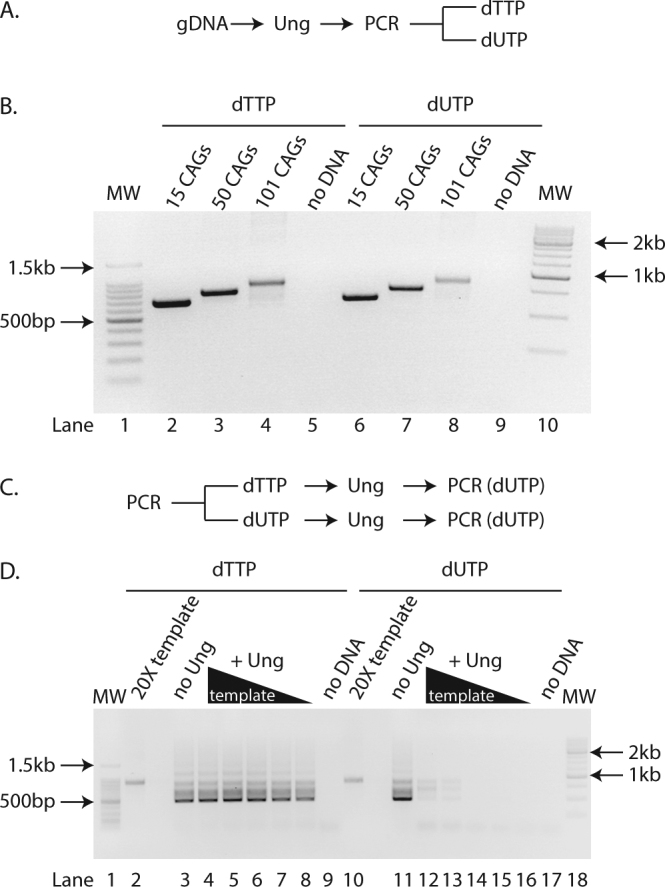 dTTP substituted with dUTP allows PCR amplification of expanded CAG repeats. ( A ) Experimental scheme used to generate the PCR amplicons found in B. gDNA = genomic DNA ( B ) Agarose gel of PCR amplicons after pre-treatment with Ung and containing either dTTP (lanes 2–5) or dUTP (lanes 6–9) from genomic DNA isolated from GFP(CAG) 15 (lanes 2, 6), GFP(CAG) 50 (lanes 3, 7), GFP(CAG) 101 (lanes 4, 8), or without DNA added (lanes 5, 9). MW = molecular weight marker (lanes 1, 10). ( C ) Experimental scheme used for panel D. ( D ) Agarose gel of PCR amplicons obtained after pre-treatment with Ung of a template containing either dTTP (lanes 2–9) or dUTP (lanes 10–17). The template was generated from amplifying GFP(CAG) 101 genomic DNA. The PCRs with no Ung treatment (lanes 3, 11) contained 1X concentration of the template amplicon. Ten-fold dilution series (lanes 4–8 et 12–16) of the template (20X loaded directly without PCR in (lanes 2, 10)) and no DNA controls are also shown (lanes 9 and 17). MW = molecular weight marker (lanes 1, 18).