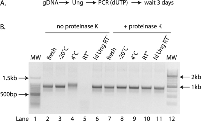 Using heat-labile Ung and/or Proteinase K prevents the degradation of uracil-containing amplicons. ( A ) Experimental scheme used. ( B ) Agarose gel of amplicons from genomic DNA of GFP(CAG) 101 containing uracil and treated post-PCR with (lanes 7–11) or without (lanes 2–6) proteinase K three days after the PCR was performed (lanes 3–6 and 8–11) or immediately after the PCR (fresh, lanes 2, 7). The samples were stored at −20 °C (lanes 3, 8), 4 °C (lanes 4, 9), room temperature (RT°, lanes 5, 10), or were amplified using a heat labile (hl) Ung instead of the conventional Ung and stored at room temperature (lanes 6,11). MW = molecular weight marker (lanes 1 and 12).