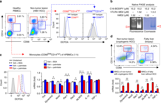 Palmitate treatment increases ROS generation in human CD68 low CD14 high monocytes via endocytosis of palmitate/TLR4 complex. a Healthy human peripheral blood mononuclear cells (PBMCs) and isolated liver mononuclear cells (MNCs) from non-tumor lesions of HCC (HBV origin) were subjected to flow cytometry and assessment of ROS generation, respectively. b After the reaction between each protein and BODIPY-labeled fluorescent fatty acid analog (C16-BODIPY) under the indicated conditions, the samples loaded at Native gradient PAGE (4–15%) were visualized with illumination (488 nm) and Coomassie staining. c Healthy human PBMCs were treated with palmitate ± dynasore. Then, these cells were subjected to assessment of ROS generation and qRT–PCR analyses. d Freshly isolated liver MNCs from non-tumor liver lesions of primary HCC and biopsy lesions of fatty liver were subjected to flow cytometry and qRT–PCR analyses. Data are representative of three independent experiments using PBMC of healthy controls ( n = 5) and liver MNCs of HBV ( n = 3), cryptogenic HCC ( n = 1) and fatty liver ( n = 1) patients a , c , d . Data are expressed as the mean ± s.e.m. and analyzed by Student's t -test or one-way analysis of variance, * P