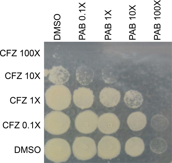 PAB has synergistic bactericidal activity in combination with CFZ. IDR-0341930 and CFZ were tested singly and in combination at the indicated multiples of the MIC against H37Rv-LP for 7 days. Liquid cultures from a 96-well plate were spot-plated onto 7H10-OADC agar. Pictures are representative of two independent experiments.