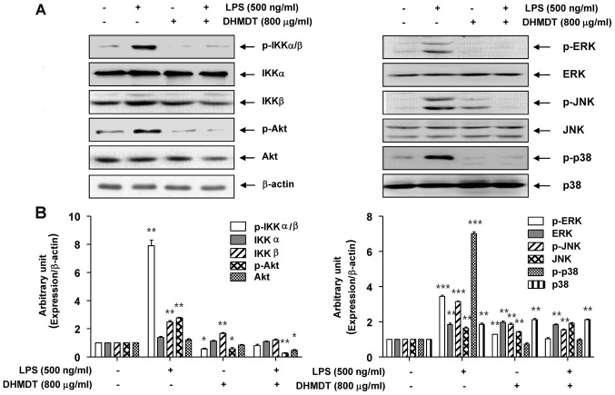 Effect of DHMDT on the LPS-induced phosphorylation of <t>IKKα/β,</t> Akt and MAPKs in RAW 264.7 macrophages. The RAW 264.7 cells were pretreated with 800 µg/ml DHMDT for 1 h prior to exposure to LPS for 30 min, and total proteins were isolated. (A) The proteins were subjected to SDS-PAGE, followed by western blot analysis. (B) ImageJ densitometric analysis of bands expressed in relation to β-actin. Data are presented as mean ± standard deviation of the mean. *P