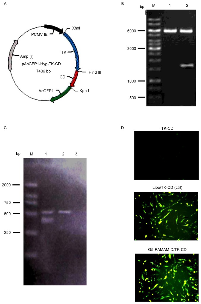 TK and CD gene expression in HTF cells. (A) The plasmid map showing the expression vector, pAcGFP1-Hyg, carrying the TK and CD genes. (B) The 1,617 bp fragment of the TK-CD gene was confirmed by restriction enzyme digestion of the plasmid with Xho I and Kpn I followed by 1% DNA gel electrophoresis. Lane M, DNA marker; lane 1, vector pAcGFP1-Hyg; and lane 2, pAcGFP1-Hyg-TK-CD. (C) Reverse transcription-polymerase chain reaction analysis of HFT cells transfected with pAcGFP1-Hyg-TK-CD. Lane M, DL2000 marker; lane 1, fragment of TK-CD (403 bp) and β-actin (561 bp) in the transfected cells; lane 2, untransfected; and lane 3, negative control groups. (D) TK and CD gene expression mediated either by Lipo or G5-PAMAM-D was accessed by fluorescence microscopy (magnification, ×100). TK, thymidine kinase; CD, cytosine deaminase; HTFs, human Tenon's capsule fibroblasts; G5-PAMAM-D, 5-polyamidoamine dendrimers; bp, base pairs; Lipo, Lipofectamine 2000; ctrl, control.