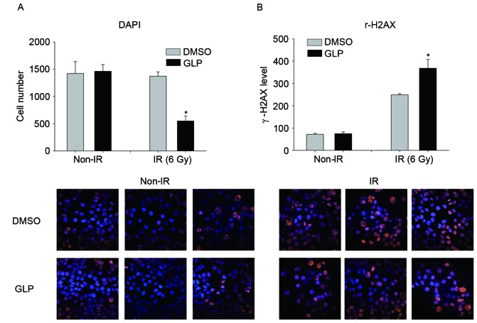Effect of GLP on radiation-induced inhibition of HepG2 cell growth. HepG2 cells were treated with GLP (10 µM) for 72 h and then with radiation (6 Gy) for 30 min. Treated cells were stained with (A) DAPI (blue) and (B) anti-γ-H2AX antibody (red). GLP, Ganoderma lucidum polysaccharide; DAPI, 4′, <t>6-diamidino-2-phenylindole;</t> IR, irradiation; DMSO, dimethyl sulfoxide. *P