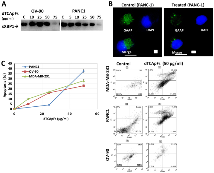Long-term exposure to dTCApFs downregulates the ER stress repair mechanism and as a result apoptosis is induced. In treated cells, the sXBP1 and GAAP levels decreased. Cell viability also decreased. (A) RT-PCR-detected sXBP1 levels in OV-90, PANC-1 and MDA-MB-23 cells treated with dTCApFs for 72 h decreased with increasing dTCApFs concentrations (equal amounts of RNA/cDNA were used in the analysis). (B) The GAAP levels were higher in dTCApFs-treated PANC-1 cells (25 µg/ml for 48 h followed by an additional dose of 25 µg/ml for a further 24 h) compared with untreated cells (IF staining). Scale bar, 25 µm. (C) Apoptosis was observed in PANC-1, OV-90 and MDA-MB-231 cells treated with increasing concentrations of dTCApFs for 24 h followed by another dTCApFs dose for 72 h. Viability was measured with the Annexin V FITC assay. Error bars, standard deviation. dTCApFs, 14-amino acid derivative of tumor-cells apoptosis factor; ER, endoplasmic reticulum; RT-PCR, reverse transcription-polymerase chain reaction; sXBP1, spliced X-box-binding protein 1; GAAP, Golgi anti-apoptotic protein; IF, immunofluorescence.