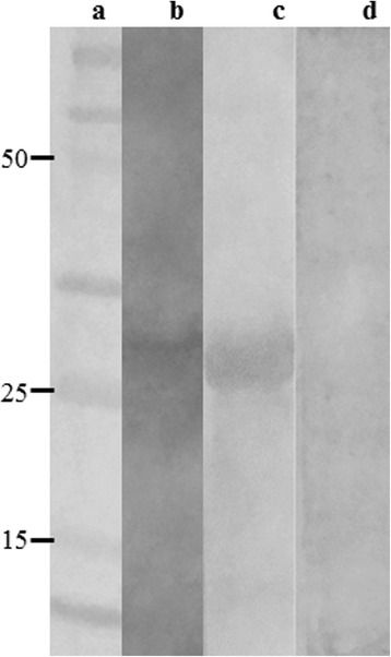 Immunoblotting assays. A molecular weight marker (Lane a), 20 μg L. infantum SLA (Lane b) and 10 μg rLiHyp (Lanes c, d) were electrophoresed on a 20% SDS-PAGE and blotted onto nitrocellulose membranes. Blots were incubated with pools of sera from B1 phage-vaccinated mice (Lanes b and c) or from naive mice (lane d), and were revealed by adding chloronaphtol, diaminobenzidine, and H 2 O 2 . A scan from the blots is shown here. The black arrow indicates the rLiHyp protein (~28.0 kDa)