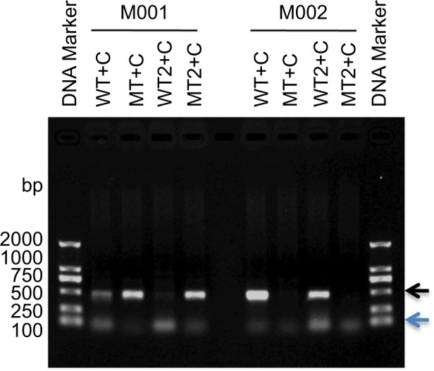 Optimization of ARMS condition. Notes: ARMS amplifications specific for the mutation (c.C799T) were optimized by indicated different primer pairs. The genomic samples of mutant hemizygous proband <t>M001</t> (I:1) and his normal son (II:3) were used as <t>DNA</t> templates. The black and blue arrows show the position of the point mutation and nonspecific primer-dimer, respectively. I:1=M001; II:3=M002. Abbreviations: ARMS, amplification refractory mutation system; WT, wild-type primer; MT, mutant primer; C, common primer.