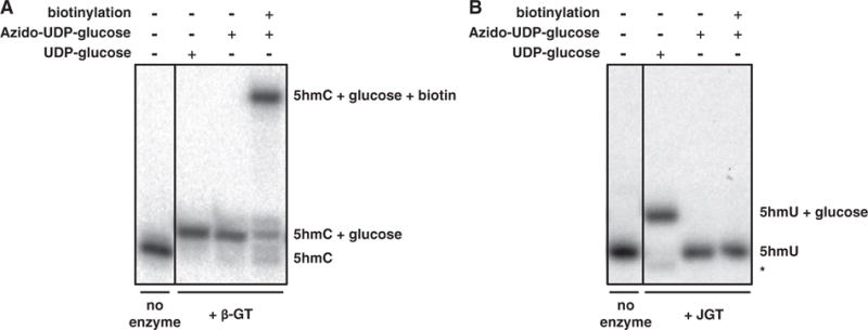 """JGT is unable to utilize UDP-6-N 3 -glucose. Denaturing PAGE for monitoring the reaction mixtures of DNA substrates treated with ( A ) T4 β GT or ( B ) JGT and UDP-glucose or UDP-6-N 3 -glucose (azido-UDP-glucose). The 15-nt-long 32 P labeled dsDNA substrate containing either a 5hmU or 5hmC were incubated with the indicated GT enzyme and nucleotide sugar as described in the """"Materials and methods"""" section. The addition of a glucose moiety to the DNA substrate results in a visible shift on PAGE, with an even greater shift upon subsequent addition of biotin. No enzyme control indicates DNA substrate incubated without the addition of the corresponding GT enzyme. The band indicated with an asterisk is a 14-nt-long glucosylated degradation product."""