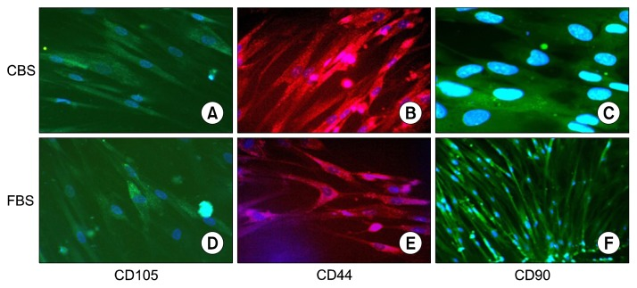 Immunofluorescence for CD105, CD44 and CD90 expression in MSCs cultured in CBS supplement media (A~C) or in FBS supplement media (D~F). Positive staining for CD105 (A, D), CD44 (B, E), and CD90 (C, F). Nuclei were counterstained with DAPI (blue).