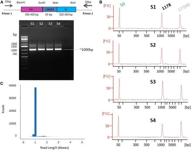 Primer design (A) and quality control presequencing (B) and postsequencing (C) . (A) Primers designed on the phagemid vector and used for single chain fragment variable (scFv) PCR amplification. The scFv (VH-LINKER-VL) length range is between ~720 and ~800 bp [variable heavy (VH) between ~350 and ~400 bp and variable light (VL) between ~320 and ~350 bp]. The linker is 53 bp including the EcoRI and XbaI sites. The PCR products are expected to be ~1,000 bp on average, including the 5′ and 3′ region and the primers. (B) Agarose gel electrophoresis of PCR products. The DNA was amplified from the AAR3 fraction and PCR products were analyzed on 1.2% (w/v) agarose gel. The band at ~1,000 bp corresponds to the expected size for scFv <t>amplicons.</t> S1, S2, S3, and S4 correspond to the samples 1, 2, 3, and 4, respectively. The Bioanalyzer trace of the four samples shows the purity of amplicons with a high-quality single peak. (C) Pacific Biosciences RS II CCS2 read length distribution using P6-C4 chemistry for 1 SMRT cell (similar results were obtained for the 15 SMRT cells). Data are based on a 1-kb size-selected scFv library using a 6 h movie.
