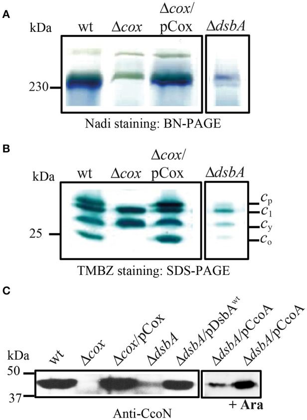 DsbA is required for cbb 3 -Cox activity and maturation/assembly of its subunits. (A) Detection of active cbb 3 -Cox by BN-PAGE stained with NADI in chromatophore membranes prepared from the wild type (wt), Δ cbb 3 -Cox (Δ cox ), Δ cbb 3 -Cox overproducing cbb 3 -Cox (Δ cox /pCox) and Δ dsbA . The active 230 kDa band corresponding to cbb 3 -Cox complex is present in the wild type and Δ cox /pCox strains. In the absence of DsbA, activity of the cbb 3 -Cox is severely affected. (B) Chromatophore membranes were separated by SDS-PAGE and stained by TMBZ for detection of the c -type cyts. The wild type and Δ cox /pCox showed cyt c 1 of cyt bc 1 complex, the electron carrier c y , and the cyts c p and c o subunits of cbb 3 -Cox, which are absent in Δ cbb 3 -Cox. The levels of all c -type cyts c are decreased in Δ dsbA due to its effect on the Ccm process, and the cyts c p and c o subunits of cbb 3 -Cox were present at ~10 and 8% of the wild type levels, respectively. (C) Immunoblot analysis of chromatophore membranes separated by SDS-PAGE using polyclonal antibodies against the CcoN subunit of cbb 3 -Cox. The amount of CcoN is severely reduced in the Δ dsbA mutant to ~15% of wild type levels, but it increases by roughly three folds when CcoA is overproduced upon induction with L-arabinose.