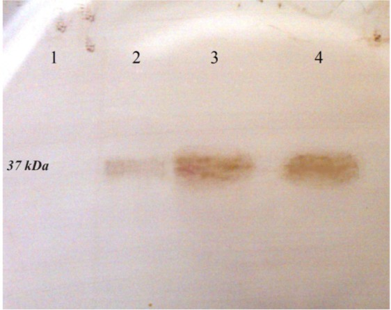 Western blot analysis of the expressed r-PilQ 380-706 protein in E. coli BL21. After running the SDS-PAGE, the protein transferred onto PVDF membrane and detected with HRP-conjugated goat anti-rabbit IgG. (lane 1) total cell lysate of non-induced bacteria; (lane 2) total cell lysate of bacteria after 4 hr induction; (lane 3 and 4) purified r-PilQ 380-706 by Ni 2+ -affinity chromatography.