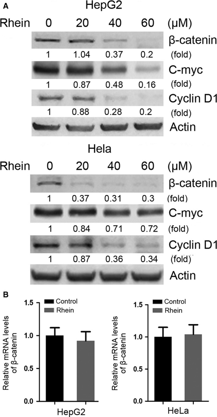 Rhein decreases the protein level of β‐catenin without changing its mRNA level. ( A ) HepG2 and Hela cells were treated with rhein in increasing dose indicated for 48 hrs followed by Western blot analysis of β‐catenin, c‐myc and cyclin D1. ( B ) HepG2 and Hela cells were treated with 60 μM rhein for 48 hrs, followed by real‐time RT‐PCR analysis of β‐catenin transcription. The relative mRNA levels of β‐catenin were plotted. Values represent means ± S.D. ( n = 3). The mean level of β‐catenin mRNA in rhein‐untreated group was set as 1.