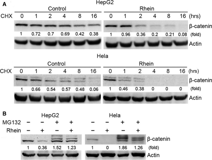 Rhein promotes proteasomal degradation of β‐catenin. ( A ) HepG2 and Hela cells were treated with a protein translation inhibitor, CHX (100 μg/ml), and with or without rhein (100 μM). At the indicated time‐point, cells were collected followed by Western blot analysis of β‐catenin. ( B ) HepG2 and Hela cells were treated with or without rhein (60 μM) and proteasome inhibitor MG132 (5 μM) for 48 hrs, followed by Western blot analysis of β‐catenin.