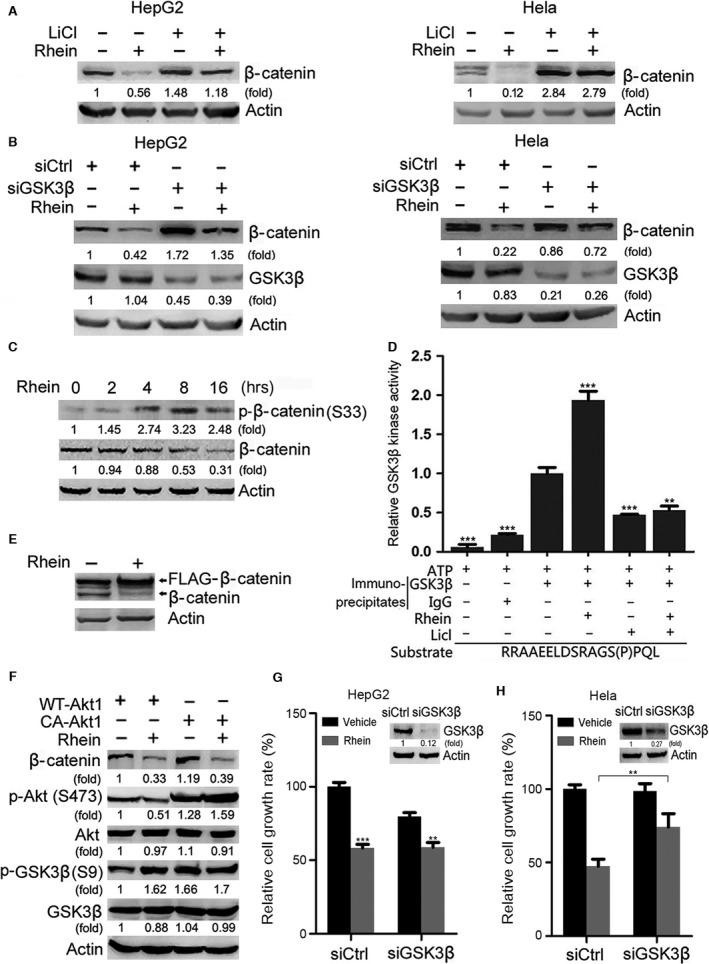 GSK‐3β is involved in rhein‐induced degradation of β‐catenin and inhibition of cell growth. ( A ) HepG2 and Hela cells were treated with or without LiCl (10 mM) and rhein (60 μM) for 48 hrs, followed by Western blot analysis of β‐catenin. ( B ) HepG2 and Hela cells were transfected with GSK‐3β siRNA. Twenty‐four hours after transfection, the cells were treated with or without rhein (60 μM) for 48 hrs, followed by Western blot analysis of β‐catenin and GSK‐3β. ( C ) HepG2 cells were treated with or without rhein (100 μM) for indicated periods, followed by Western blot analysis. ( D ) In vitro kinase assays of immunoprecipitated GSK3β. HepG2 cells were treated with or without 100 μM rhein for 24 hrs, followed by immunoprecipitation with anti‐GSK3β antibody or normal IgG. The immunoprecipitates were subjected to in vitro kinase assays in the presence of a peptide substrate. The relative kinase activity of GSK3β was plotted. ** P