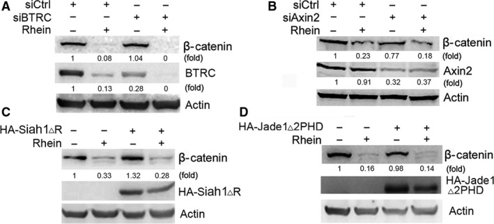 BTRC, Siah1 and Jade1 are not involved in the induction of β‐catenin degradation by rhein. ( A ) HepG2 cells were transduced with negative control siRNA (siCtrl) or BTRC siRNA (siBTRC), followed by treatment with or without rhein (100 μM) for 24 hrs. The levels of β‐catenin and BTRC were detected by Western blotting. ( B ) HepG2 cells were transduced with negative control siRNA (siCtrl) or axin2 siRNA (siAxin2), followed by treatment with or without rhein (100 μM) for 24 hrs. The levels of β‐catenin and axin2 were detected by Western blotting. ( C ) HepG2 cells were transduced with empty vector or HA‐Siah1▵R, followed by treatment with or without rhein (100 μM) for 24 hrs. The levels of β‐catenin and HA‐Siah1▵R were detected by Western blotting. ( D ) HepG2 cells were transduced with empty vector or HA‐Jade1▵2PHD, followed by treatment with or without rhein (100 μM) for 24 hrs. The levels of β‐catenin and HA‐Jade1▵2PHD were detected by Western blotting.
