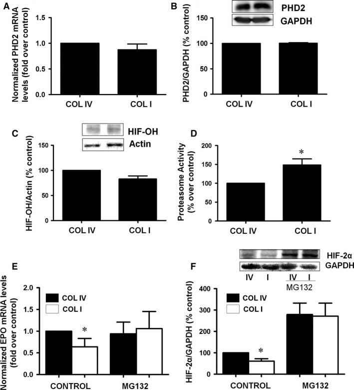 Collagen type I does not affect prolyl hydroxylases activity, increases <t>proteasome</t> activity and proteasome inhibition restores erythropoietin levels. Cells were grown on collagen IV ( COLIV ) or collagen I ( COLI ) for 48 hrs. ( A ) PHD 2 mRNA levels were determined by quantitative RT ‐ PCR . Relative fold change values were normalized against GAPDH as endogenous control and expressed as fold induction over COLIV as control. ( B ) PHD 2 protein levels and GAPDH as endogenous control were evaluated by immunoblotting. A representative blot is shown. ( C ) Cells were grown on COLIV or COLI for 24 hrs and then treated with proteasome inhibitor MG 132 for another 24 hrs. Hydroxylated‐ HIF 1α protein levels and actin as endogenous control were evaluated by immunoblotting. A representative blot is shown. ( D ) Cells were grown on collagen IV ( COLIV ) or collagen I ( COLI ) for 48 hrs. Proteasome activity was measured as fluorogenic chymotrypsin substrate in a fluorimeter. Data are shown as the percentage of activity measured on COLIV . Cells were grown on COL IV or COLI for 24 hrs and then treated with proteasome inhibitor MG 132 for another 24 hrs. ( E ) Erythropoietin mRNA levels were determined by quantitative RT ‐ PCR . Relative fold change values were normalized against GAPDH as endogenous control and expressed as fold induction over COLIV . Data are shown as the percentage of activity measured on COLIV . ( F ) HIF 2α protein levels and GAPDH as endogenous control were evaluated by immunoblotting. A representative blot is shown. Bar graphs represent percentage of densitometric levels versus COLIV as control. Results are mean ± S.E.M.; N = 3 independent experiments (* P