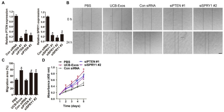 Inhibition of PTEN and SPRY1 induces UCB-Exos-like positive effects on fibroblast function. (A) The inhibitory efficiency of the siRNAs targeting PTEN and SPRY1 was verified by qRT-PCR. n = 3 per group. (B) The migration of HSFs in different treatment groups was tested by the scratch wound assay. (C) Quantitative analysis of the migration rates in (B). n = 3 per group. (D) CCK-8 analysis of HSFs proliferation in different treatment groups. n = 4 per group. * P