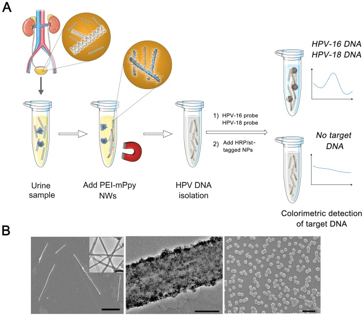 (a) Schematic diagram of highly efficient isolation of urinary cfDNA using polyethyleneimine-conjugated magnetic nanowires (PEI-mPpy NWs) and direct PCR-free colorimetric detection of target HPVs via sequential addition of complementary probes and multiple horseradish peroxidase (HRP)-/streptavidin-labelled polypyrrole nanoparticles (HRP/st-tagged NPs) to dramatically amplify colorimetric signals. (b) SEM image of PEI-mPpy NWs (Left, Scale bar = 10 µm). Inset is a TEM image of the nanowires (scale bar = 1 µm). TEM image at high magnification showing the presence of a large quantity of magnetic nanoparticles (MNPs; 10 nm) doped within the nanowire (Middle, Scale bar = 50 nm). SEM image of HRP/streptavidin-conjugated nanoparticles (Right, scale bar = 200 µm)