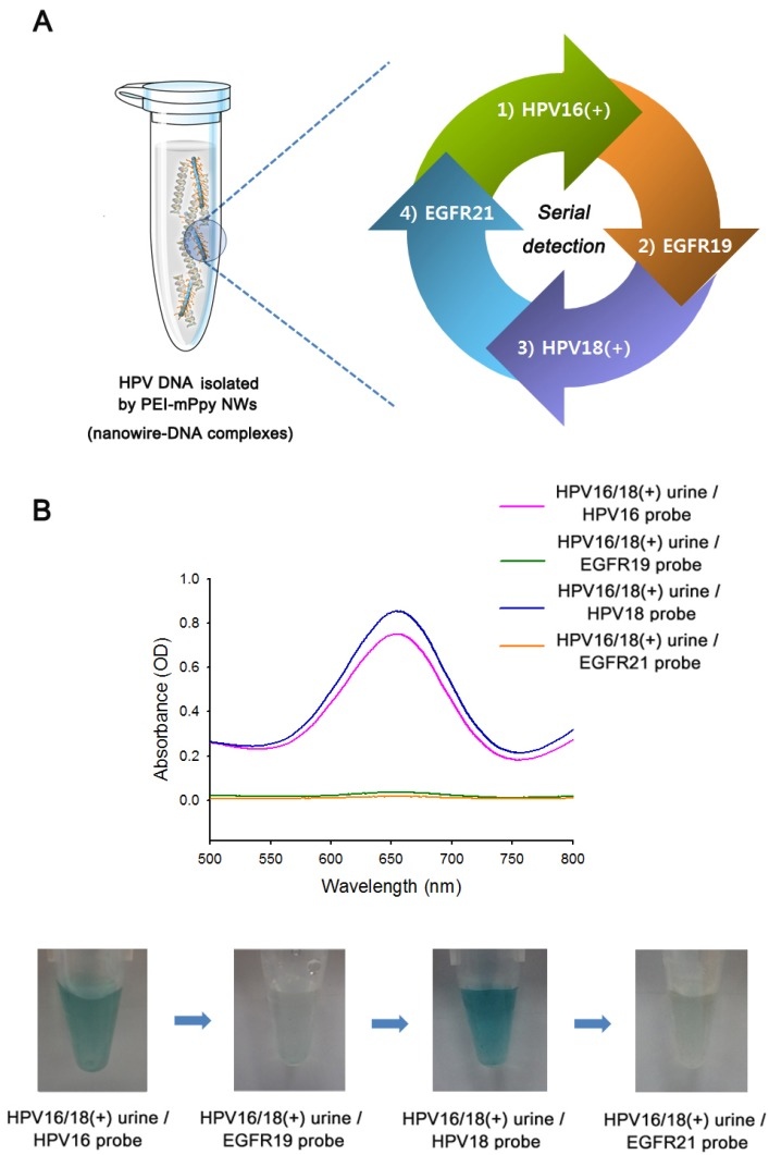 (a) A novel approach of PEI-mPpy NWs in the extraction, identification, and PCR-free sequential detection of multiple HPV genotypes from urine specimens of cervical cancer patients. (b) The UV-Vis colorimetric results of cfDNA isolated by PEI-mPpy NWs from urine of cervical cancer patients who were found to be positive for both HPV16 and HPV18, demonstrating multiple uses of the same nanowire-DNA complexes for the detection of HPV with different genetic variations. However, no response was observed for non-HPV probes (EGFR19 and EGFR21). The photographs indicate the color change as a result of type-specific hybridization between target HPVs and their complementary probes.