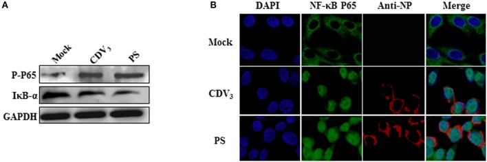 CDV infection induces the phosphorylation and nuclear translocation of NF-κB P65 and the degradation of IκB-α proteins (A) CDV infection strengthened NF-κB P65 phosphorylation and IκB-α degradation. Mv.1.Lu cells were infected with 2 MOI PS or CDV 3 . At 24 hpi, cells were gathered for detecting the expression levels of phosphorylated NF-κB P65 protein and IκB-α protein. (B) CDV infection facilitated NF-κB P65 nuclear translocation. Mv.1.Lu cells were infected with 2 MOI PS, CDV 3 or mock-infected. At 24 hpi, the cells were fixed and incubated with rabbit polyclonal antibody specific to mink NF-κB P65 and mouse monoclonal antibody specific to CDV N protein, then incubated with FITC-labeled goat anti rabbit IgG and Cy3-labeled goat anti mouse IgG, respectively. Cell nuclei were stained by DAPI. The fluorescent images were analyzed under a confocal microscopy (Leica, Germany).