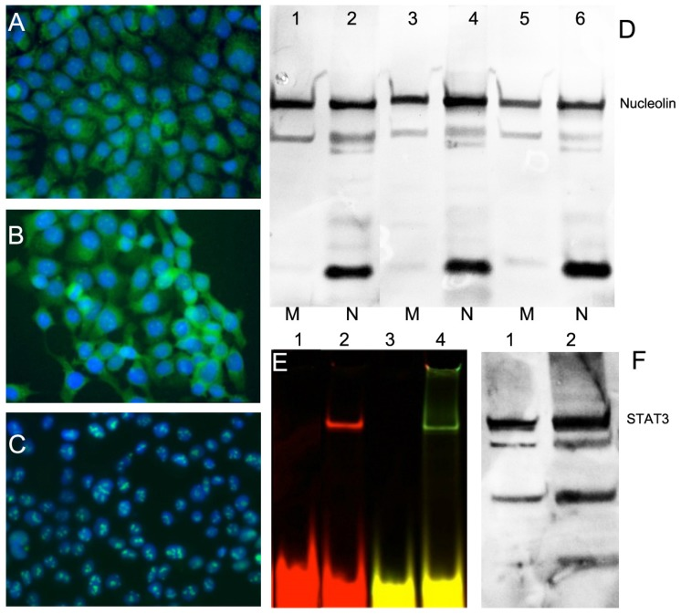 Expression of nucleolin (cell-surface target protein) and STAT3 in epithelial cancer cell lines. Immunofluorescence using anti-nucleolin antibody showing nucleolin expression in epithelioid carcinoma <t>A431</t> ( A ), HNC line FaDu ( B ); ovarian carcinoma OVCAR3 ( C ). Secondary FITC-conjugated IgG (green) was used. Nuclei were counterstained with DAPI (blue). D - nucleolin expression in membrane (M) and nuclear (N) fractions of cells. Lanes 1,2 - A431, Lanes 3,4 - FaDu, lanes 5,6- HeLa cells. E- electrophoretic mobility shift assay (EMSA) showing STAT3d alone (lane 1,3) and after adding FaDu cell lysate (lane 2,4). STAT3 d was labeled either using Cy5.5 (lanes 1,2) or dual-labeled with Cy5.5 and 800CW(lanes3, 4); F- Western blotting of STAT3 in FaDu cell extract (lane 1) and HeLa extract (lane 2, positive control).