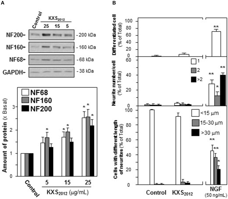 KXS 2012 does not induce neuronal differentiation. (A) KXS 2012 (5–25 μg/mL) were applied onto cultured PC12 cells for 48 h. The expressions of neurofilaments (NF68, NF160, and NF200) were determined by specific antibodies. Glyceraldehyde-3-phosphate dehydrogenase (GAPDH) served as a loading control. Quantification plot was shown in histograms. (B) Cultured PC12 cells were treated as in (A) . The cells were fixed with ice-cold 4% paraformaldehyde. The % of differentiated cells (upper panel), the number of neurite per cell (middle panel), and the length of neurite (lower panel) were counted as described in the Materials and Methods section. Bar = 10 μm. NGF (50 ng/mL) served as a positive control. Representative images were shown. Values are expressed as % of total cells in 100 counted cells, Mean ± SEM, n = 4. * p
