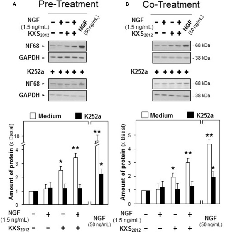 K252a inhibits KXS 2012 -promoted neurofilament expression. (A) K252a (0.1 μM) was applied onto cultured PC12 cells, 3 h before KXS 2012 (15 μg/mL) treatment. After 48 h, PC12 cells were washed by PBS twice and treated with NGF (1.5 ng/mL) for 24 h. (B) K252a (0.1 μM) was applied onto cultured PC12 cells 3 h before KXS 2012 (15 μg/mL) treatment together with NGF (1.5 ng/mL) for 24 h. The cell lysates were collected to determine the expression of NF68. GAPDH served as a loading control. Quantification plot was shown in low panel. Values are expressed as × Basal, where control value is set as 1, Mean ± SEM, n = 4. * p