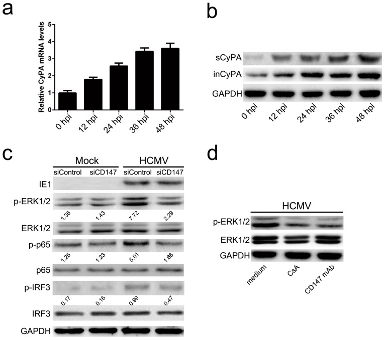 CD147 mediated HCMV-triggered antiviral signaling via the sCyPA-CD147 interaction activated ERK/NF-κB pathway. ( a ) Quantitative RT-PCR analysis of Cyclophilin A (CyPA) mRNA expression kinetics in HFF cells at different time points post-HCMV infection (MOI = 5); ( b ) Western blot analysis of secreted CypA (sCypA) protein levels and intracellular CypA (inCypA) in total protein lysates in culture mediums of HFF cells at the indicated times post HCMV infection (MOI = 5); ( c ) Western blot analysis of the phosphorylation levels of ERK1/2 (p-ERK1/2), NF-κB p65 subunit (p-p65) and IRF3 (p-IRF3) in response to HCMV infection for 6 h (MOI = 0.5) compared to mock infection (Mock) with the medium only. The intensities of bands were quantified by Image Lab 4.0 (Bio-Rad) and relative values normalized to GAPDH are indicated by the numbers under the lanes; ( d ) Analysis of the phosphorylation activation of ERK1/2, induced by HCMV infection for 6 h (MOI = 0.5) with the culture medium, pre-supplemented with cyclosporine (CsA) (5 μg/mL) or CD147 mAb (50 μg/mL).