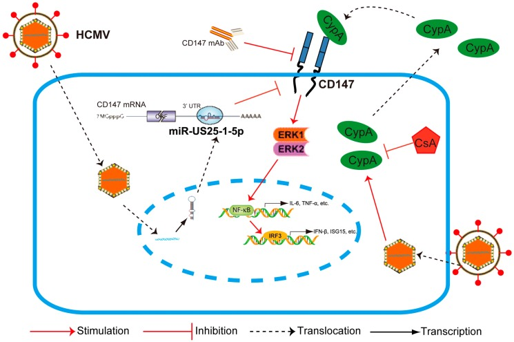 General model for HCMV miR-US25-1-5p in attenuating CD147/EMMPRIN-mediated HCMV-triggered early antiviral response. Upon HCMV infection, intracellular CypA is released. As a paracrine proinflammatory cytokine, CyPA interacts with CD147 of those uninfected cells and tissues, and stimulates the phosphorylation of ERK1/2. The activation of NF-κB then occurs, followed by a subsequent activation of the IRF3 phosphorylation and the orchestrated NF-κB-dependent, IRF3 plus NF-κB-dependent immune responses. HCMV-encoded miR-US25-1-5p targeting CD147, CD147-blocking mAb, and an inhibitor of CyPA (CsA) can specifically inhibit this process.