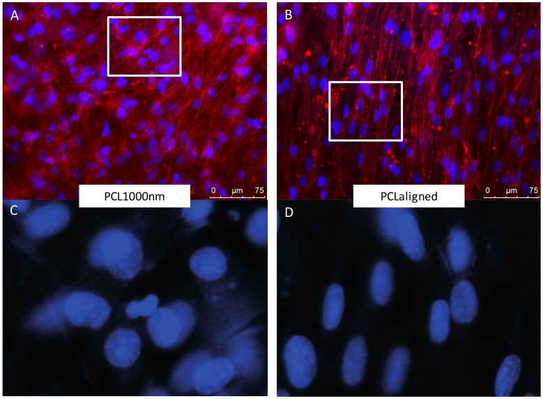 Fluorescence microscopy observations of C3H10T1/2 cells cultured for 96 h on PCL1000nm ( A , B ) and PCLaligned ( C , D ) scaffolds. ( A , C ) Actin filaments visualized with rhodamine-phalloidine ( red ) and nuclei visualized with DAPI ( blue ). ( B , D ) higher magnifications of nuclei (DAPI) of region of interest (white rectangles in A , C ).