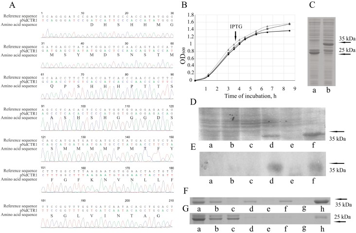 Cloning of ectodomain of human copper transporter 1 (hNdCTR1) and analysis of recombinant fusion protein. ( A ) The correspondence of the cloned nucleotide sequence to the region of the human CTR1 gene. ( B ) The growth rate of the control Escherichia coli strain and strains transformed with plasmids expressing either glutathione-S-transferase (GST) or GST-hNdCTR1. Cycles: E. coli BL21(DE3); triangles: E. coli BL21(DE3)/pGEX-4T-1; squares: E. coli BL21(DE3)/pNdCTR1. ( C ) PAG-SDS electrophoresis of crude cellular extracts from E. coli BL21(DE3)/pGEX-4T-1 (lane a) and E. coli BL21(DE3)/pNdCTR1 (lane b) after incubation with isopropyl-β- d <t>-thiogalactoside</t> (IPTG) for 3.5 h. ( D ) PAG-SDS electrophoresis and ( E ) immunoblotting with antibodies to CTR1 of crude cellular extracts from E. coli BL21(DE3)/pNdCTR1 after incubation for 0, 1.5, and 3.5 h. Lanes a, b, c: total protein extract of non-induced culture; lanes d, e, f: total protein extract of IPTG induced culture. ( F , G ) PAG-SDS electrophoretic analysis of subcellular fractions from E. coli cells transformed with pNdCTR1 and pGEX-4T-1, respectively: cell crude extract (a), cell lysate after ultrasound treatment (b), soluble fraction of lysate obtained by centrifugation for 15 min at 16,000 g (c). Insoluble fraction of pellet was 3 times treated with solution containing 1% Triton X-100, 5 mM DTT and 2 M urea. After each treatment, soluble and insoluble fractions were separated by centrifugation for 15 min at 16,000 g . Consecutive pellets: d, f, h, and corresponding to them soluble fractions: e, g. arrows show molecular weights.
