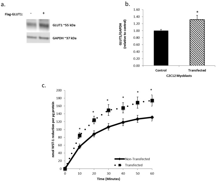 Increasing GLUT1 expression increases trans-plasma membrane electron transport (tPMET). ( a ) Western blot analysis confirms effective lipofectamine transfection. Glyceraldehyde 3-phosphate dehydrogenase <t>(GAPDH)</t> was utilized as the loading control. N = 3 ( b ) Western blot quantification demonstrates that the transfected samples have a ~30% increase in GLUT1 expression. N = 3/group, * p