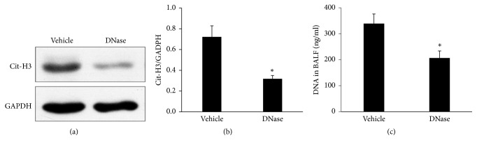 <t>DNase</t> I treatment abolished NET formation in vivo. (a) The DNase I pretreated mice had a significantly decreased level of Cit-H3 expression in the lung homogenates by a Western analysis compared to the vehicle group. (b) The ratio of the Cit-H3/GAPDH intensity was significantly lower in the DNase group compared to the vehicle groups. (c) The DNase treated mice produced a lower level of BALF DNA compared to the vehicle group. ∗ P